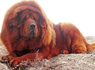 壮实肥胖的狮系藏獒犬图片