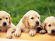 黄色拉布拉多犬幼犬图片欣赏