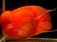 红元宝鹦鹉鱼图片色彩夺目