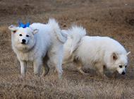公主狐狸犬户外草地玩耍图片
