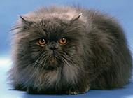 有灵气的黑色波斯猫图片大全
