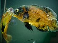 成年地图鱼甜蜜亲吻图片