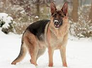 最纯的德国牧羊犬帅气英姿图片