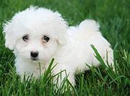 纯正白色比熊犬幼崽萌化了