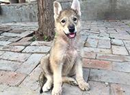 捷克狼犬幼崽可爱呆萌图片