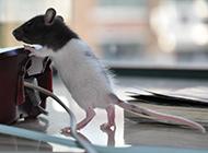 调皮捣蛋的花枝鼠图片