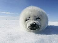 超萌可爱的小海豹图片欣赏
