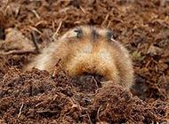 鼢鼠掘土挖穴图片