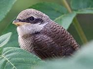 小型虎纹伯劳鸟鸟类摄影图片