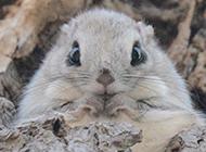 胖胖的小鼯鼠超萌图片