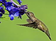 飞行能手短嘴蜂鸟图片