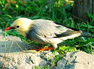 红嘴白玉鸟草地玩耍图片
