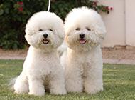 小型萌宠白色比熊犬图片