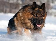长毛德国牧羊犬雪地奔跑图片