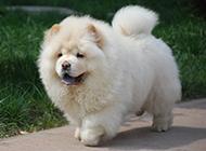 肉嘟嘟的纯种白松狮犬图片