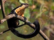 双色巨松鼠觅食图片