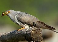 大杜鹃鸟觅食图片实拍