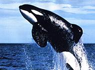 性情凶猛的虎鲸高清摄影图