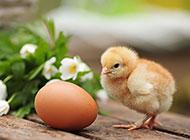 毛绒绒的小鸡幼崽高清图片