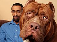 巨型比特犬图片大全