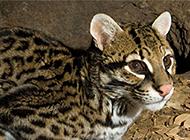 我国野生豹猫高清图片欣赏