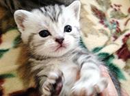 刚出生的小猫虎斑猫图片