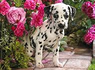 害羞的大麦町犬幼犬写真图片
