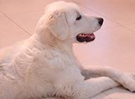 成年大白熊犬优雅姿态图片