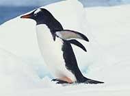 可爱企鹅跳水高清图片