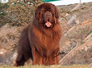纽芬兰犬身躯结实健壮图片