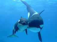 美国蓝鲸鱼有爱互动图片