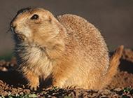 招人喜欢的土肥圆土拨鼠图片