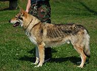捷克狼犬军营训练图片欣赏