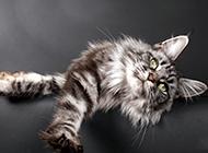神态慵懒的缅因猫图片
