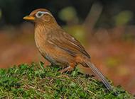 野外觅食的极品画眉鸟图片