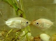亲密无间的两条接吻鱼图片