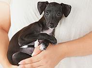 可爱小巧的意大利灵缇犬图片