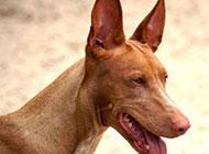 感情丰富的法老王猎犬图片