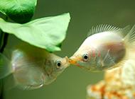 在亲嘴的接吻鱼图片壁纸