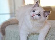 漂亮的布偶猫图片大全