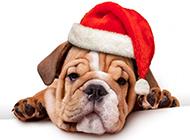 沙皮犬幼犬搞怪表情图片