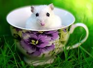小白鼠图片可爱写真