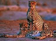 金钱豹野外高清图片