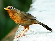 眼型最好的画眉鸟图片欣赏