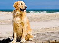 海边玩耍的美式金毛狗图片