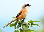 机灵警惕的棕背伯劳鸟图片