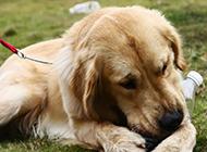 公园玩耍的纯种金毛狗狗图片