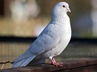 身姿矫健的荷兰信鸽图片