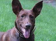 草地上的法老王猎犬实拍图片