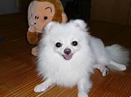 小巧玲珑的日本狐狸犬图片